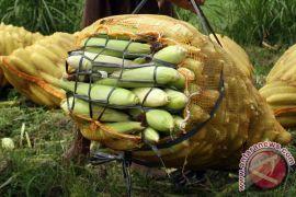 Indonesia dituntut tingkatkan produksi jagung 9 persen