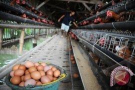Kalbar Kelebihan Produksi Telur Dan Daging Ayam