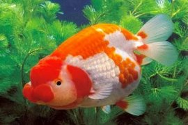 Ministry targets 1.8 billion ornamental fish production in 2020