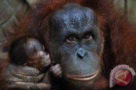 Orangutan Indonesia diperkirakan tinggal 6.000 ekor