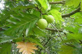 Kabupaten Bekasi lakukan penanaman sejuta pohon sukun
