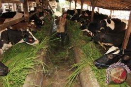 Menteri Pertanian Targetkan 500.000 Sapi Bunting 2017-2018