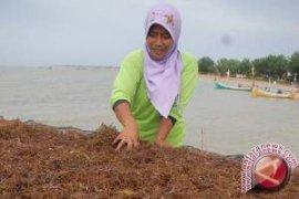 DKP Kaltim Kembangkan Budidaya Rumput Laut