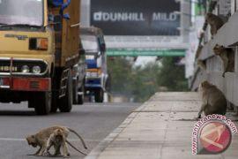 Monyet ganas di Bekasi berjenis alpha