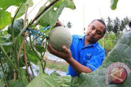 Petani melon Pantura Jabar nantikan kemarau