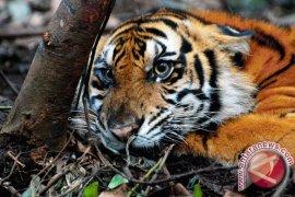 Harimau Sumatera terus dilacak