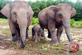BKSDA Bengkulu-Lampung Survei Potensi Koridor Gajah