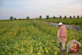 Ketapang Siap Menjadi Sumber Produksi Kedelai Kalbar