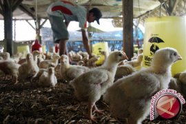 Ribuan rumah tangga miskin Karawang dapat bantuan puluhan ekor ayam