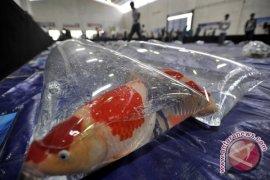 Ribuan pembudidaya ikan ikuti kontes koi nasional