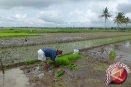 Karawang menggenjot produksi padi melalui ini