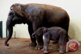 Gajah lahir di TSI Cisarua