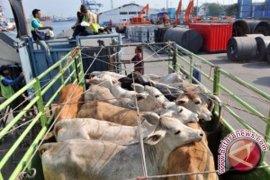 Banjarbaru Awasi Penampungan Peternak Sapi Cegah Antraks