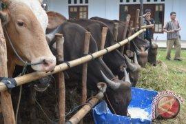 Australia berharap kepastian kuota impor sapi Indonesia