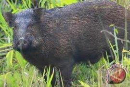 Mukomuko bantu petani cegah serangan hama babi