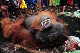 Sebanyak 48 butir peluru dikeluarkan dari mayat orangutan