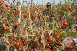 Petani Gayo biarkan tomatnya tidak dipanen sampai membusuk di pohon
