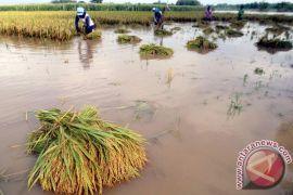 Ratusan hektare tanaman padi di Pekalongan terancam gagal panen