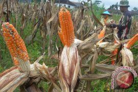 Petani jagung di Kintamani beralih ke tanaman lain
