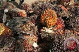Harga TBS sawit Riau turun Rp21,51/kg