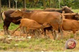 Swasembada Daging Penajam Bisa Diwujudkan Melalui SPR Trunen