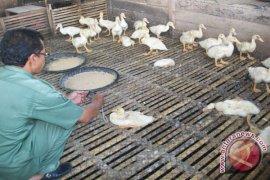 Poultry Bird Death Not Flu