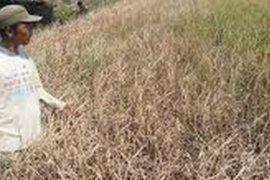 Kubu Raya Beri Asuransi Bagi Tanaman Petani