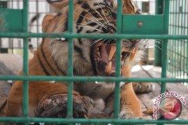 BKSDA: Harimau Sumatra terkena jerat mulai sembuh