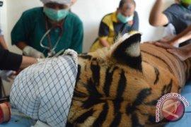 Tim medis amputasi kaki harimau terkena jerat