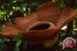 Rafflesia Arnoldii dan Gadutensis mekar di Bengkulu