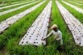 Petani Sayuran Terancam Kebijakan Pembatasan Investasi Asing