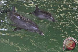 Lumba-lumba muncul lagi di Pulau Pangkep