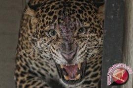 Macan Tutul Jawa Ditangkap Warga Desa Sukabumi