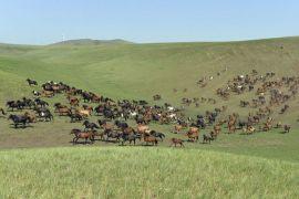 """Musim dingin """"dzud"""" di Mongolia tewaskan 700.000 ternak"""