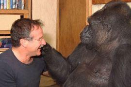 Gorila pun sedih ditinggal Robin Williams