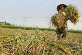 Banten Optimalkan Produksi Padi Melalui Percepatan Tanam