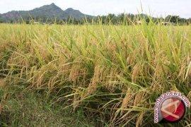 Petani Bekasi diminta gunakan bibit padi Inpari 32