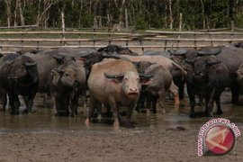 Swamp Buffalo Potentially for Culinary Industry