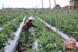 Harga tomat di Mukomuko bertahan tinggi