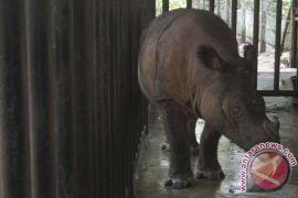 Penyelamatan badak sumatera perlu aksi darurat