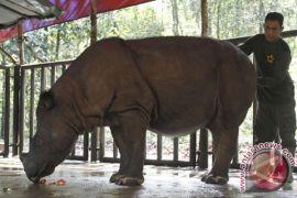 WWF: badak sumatera alami krisis populasi