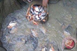 Produksi Ikan Air Tawar Babel Meningkat