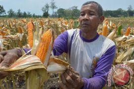 BSI pastikan tak ada jagung gagal panen