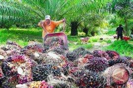 Hatga TBS kelapa sawit di Subulussalam naik