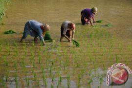 Kementan bantu benih padi korban banjir Langkat