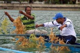 Petani Halmahera kembangkan rumput laut