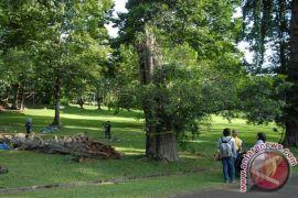 Pohon tertua di Kebun Raya Bogor tumbang