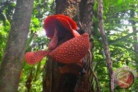 Dua jenis rafflesia mekar di Kaur dan Kepahiang