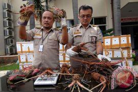 DKP Mukomuko sosialisasikan larangan tangkap lobster
