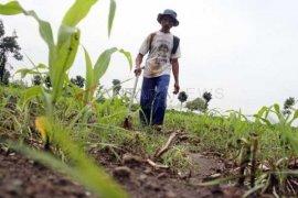 Petani Tembakau Tulungagung Keluhkan Kelangkaan Pupuk